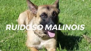 belgian shepherd edmonton police dogs for sale belgian malinois k 9 police dogs ruidoso