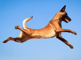 belgian shepherd navy seals this svelte beast is the most active dog breed in america