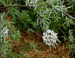 eric s pet plant weeping willowleaf pear pyrus salicifolia