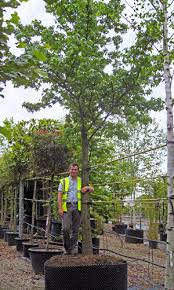 large specimen trees up to 6m for sale and tree finder service