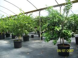 central florida nursery florida landscape plants pell u0027s citrus