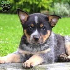 australian shepherd queensland heeler mix pictures blue heeler puppies for sale greenfield puppies