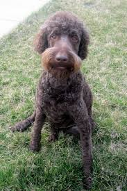 haircut shaved down with goatee labradoodle pinterest