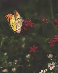 photographer al yellow butterfly