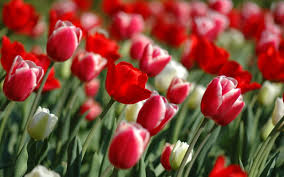 Images Of Tulip Flowers - tulips delivery in canada tulips flowers delivery canada