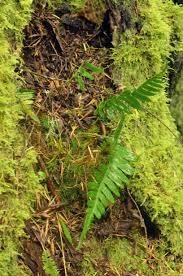 woodbrook native plant nursery piggy back plant my own personal jungle