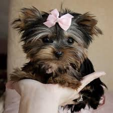 affenpinscher puppies for sale in texas yorkshire terrier for sale petsale inc