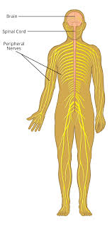 Nervous System Human Anatomy About The Nervous System Axogen Inc Axgn