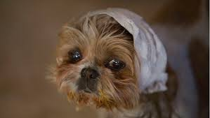 Temporary Blindness In Dogs My Dog Keeps Shaking His Head What Does That Mean Dogtime