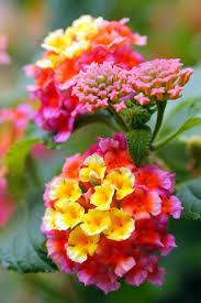wheel shaped flower buds of stenocarpus sinuatus queensland 20 best flowers u0026 flower arrangements images on pinterest