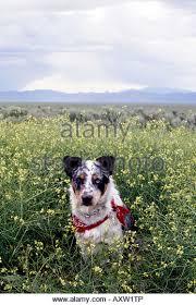 australian shepherd red heeler mix red heeler mix stock photos u0026 red heeler mix stock images alamy