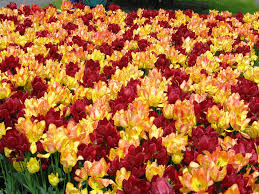 keukenhof flower gardens photo essay keukenhof the world u0027s largest flower garden