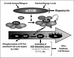 rapamycin disrupts cyclin cyclin dependent kinase p21