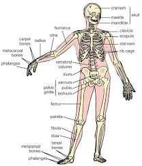 Normal Bone Anatomy And Physiology Best 20 Human Bone Structure Ideas On Pinterest Structure Of