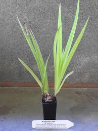 Iris Flag Blue Flag Plant Iris Versicolour All Rare Herbs Specialist