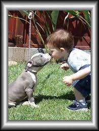 american pitbull terrier webbed feet 1628 best images about pitbulls on pinterest instapuppy