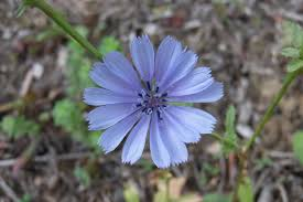 blue and purple flowers free images nature blossom petal food herb produce autumn