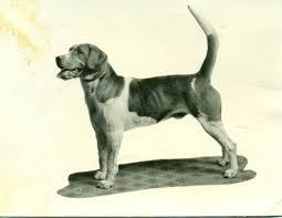 bluetick vs english coonhound english foxhound history u0026 training temperament