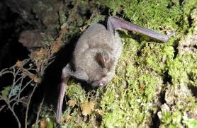 new zealand short tailed bats native animal conservation