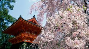 miscellaneous spring house japanese garden cherry blossoms tree