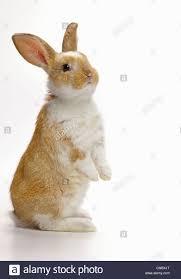 rabbit bunny bunny rabbit standing up looking away stock photo 47590896 alamy