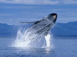 humpback whales dvd available now u2013 win 1 of 3 copies it u0027s free