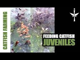 Catfish Backyard Pond by Best 25 Catfish Farming Ideas Only On Pinterest Aquaponics