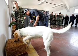 How Do Blind Dogs Know Where To Go Detection Dog Wikipedia