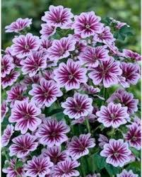 the flowers of summer at zebra mallow is heat and drought tolerant it will flower from