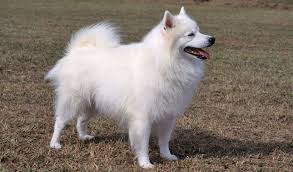 american eskimo dog toy for sale american eskimo breed information