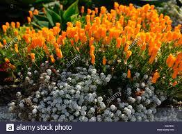 alcatraz garden california poppy poppies orange flowers flower