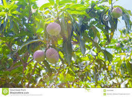 Mango Boom mangoboom stock foto afbeelding bestaande uit blad fruit 56244888