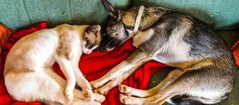 gatti divani il rimedio definitivo contro i peli di cani e gatti sul divano