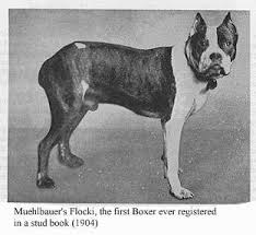 2 types of boxer dogs american boxer club short history of the boxer breed