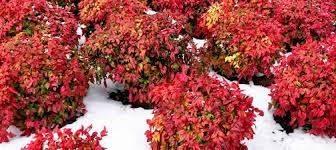 winter flowering u0026 blomming shrubs u0026 bushes for winter color in