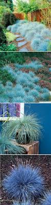 non invasive ornamental grasses is a compact drought