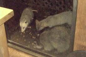 Possum In My Backyard Possum Sparsely Sage And Timely