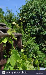 grapevine climber fruit trellis aggresive plant wine tendrils grow