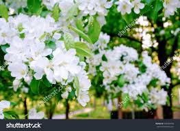 beautiful apple blossom garden spring season stock photo 540760750