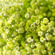 baby s breath wholesale apple green baby s breath