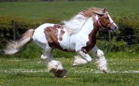 camargue white horse wallpapers running horse hd wallpaper horse images u2013 desktop wallpapers