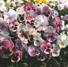Flower Seeds Online - 53 best pansy seeds images on pinterest pansies flower seeds
