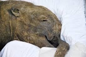 meet 40 000 baby mammoth lyuba royal bc museum
