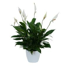 Peace Lily Peace Lily Plant In Ceramic Container From Seasons Floral