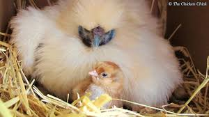 the chicken the broody breaker when a hen u0027s mood to hatch