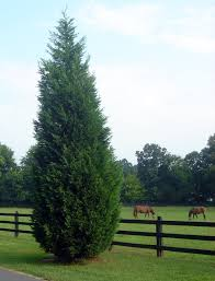 t cypress trees italian cypress for online the tree center
