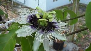 growing passion fruit in coco coir on a trellis update 5 3 2012
