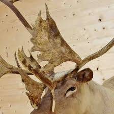 caribou taxidermy mount sw4038 for sale at safariworks taxidermy
