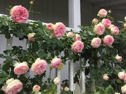 seven tips for growing climbing roses romantic rose and gardens