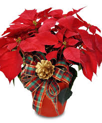milwaukee florist poinsettia plant single welkes milwaukee florist
